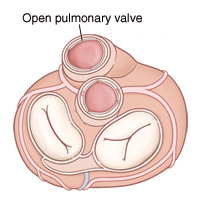 Top view of heart showing open pulmonary valve.
