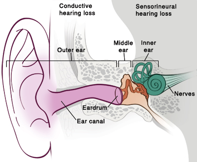 Front view of ear anatomy.