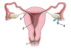 Front view cross section of female reproductive tract with arrows showing path through vagina, cervix, uterus, and out of fallopian tubes.